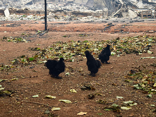 chickens on property destroyed by fire