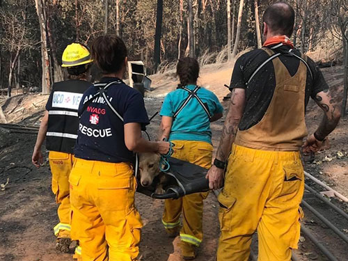 four volunteers carrying dog out of disaster area on stretcher
