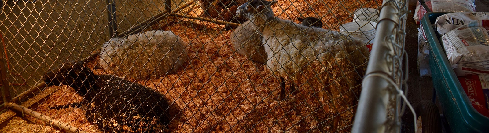 sheep in a gated area