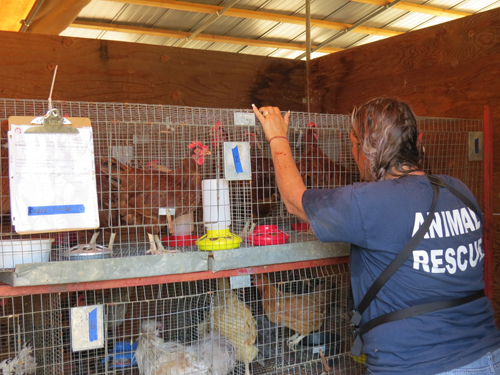 Volunteer with chickens in a cage
